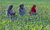 Opium Brides of Afghanistan