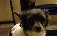 Saratoga -- 5 year old Longhaired Chihuahua -- 5 lbs