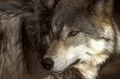 wolves is an endangered species
