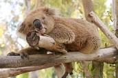 koala needs quiet.