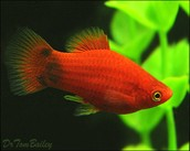 Mickey Mouse Platy Red