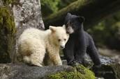 Spirit Bear and Black Bear Cub