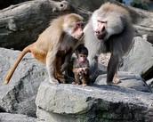 Hamadryads baboon
