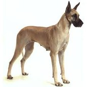 Giant Great Dane