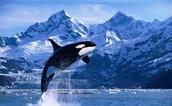 Orca (killer whale)