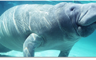 #8 Top Tourist Activity: Manatee Watching