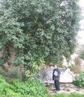 Fig 2 : A mature carob tree