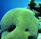 Platygyra hard coral