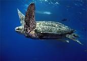 Leatherback in the ocean