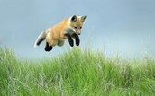 A baby red fox
