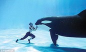 Dawn Brancheua interacts with Tilikum