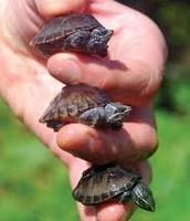 3 tiny turtles