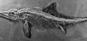 Ichthyosaurs Fossil