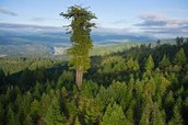 this is the top of the redwood trees