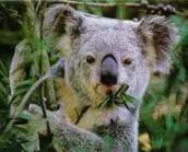 Eating eucalyptus leaves