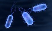 This is a close of salmonella typhi bacteria.