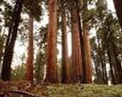 red wood tree