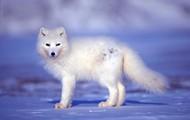 CUTE ARCTIC WOLF