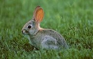 A rabbit in the grass