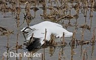 Why the Whooping Crane is Endangered