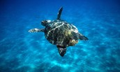Where they live? The sea turtle's are found around the world in warm subtropical and nesting occurs in over 80 different countries.