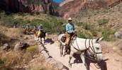 Mule ridding