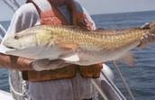 Red Drum (fish)
