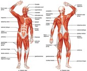 Function of the Muscular System