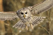 Barred owl flying in the air