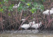 Birds in Mangroves