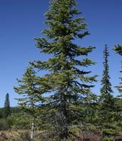 Engleman Spruce