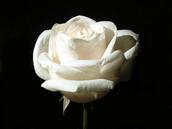 The White Rose(s)