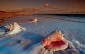 Seashell one