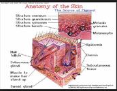 Anatomy of the skin