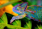 Chameleons Adaptations