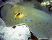 Blue dot stingray