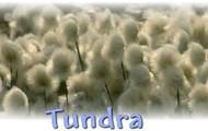 Tundra plant