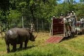 Black Rhino in an Ex-Situ Conservation Area