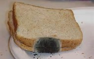 Black Bread Mold