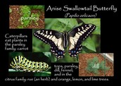 Facts about the butterfly.