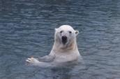 A polar swimming.