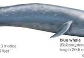 blue whale size