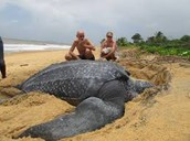 Adult Leatherback