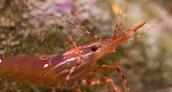 Consumer : Shrimp