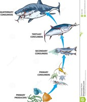 Marine food chains