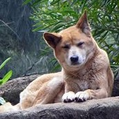 A Nearly extinct Australian Wolf in a zoo