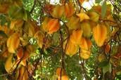 Star fruit Averrhoa carambola