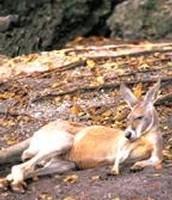 The Kangeroo