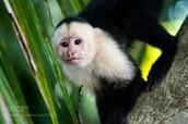 white-face capuchins