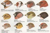 Variety of finches